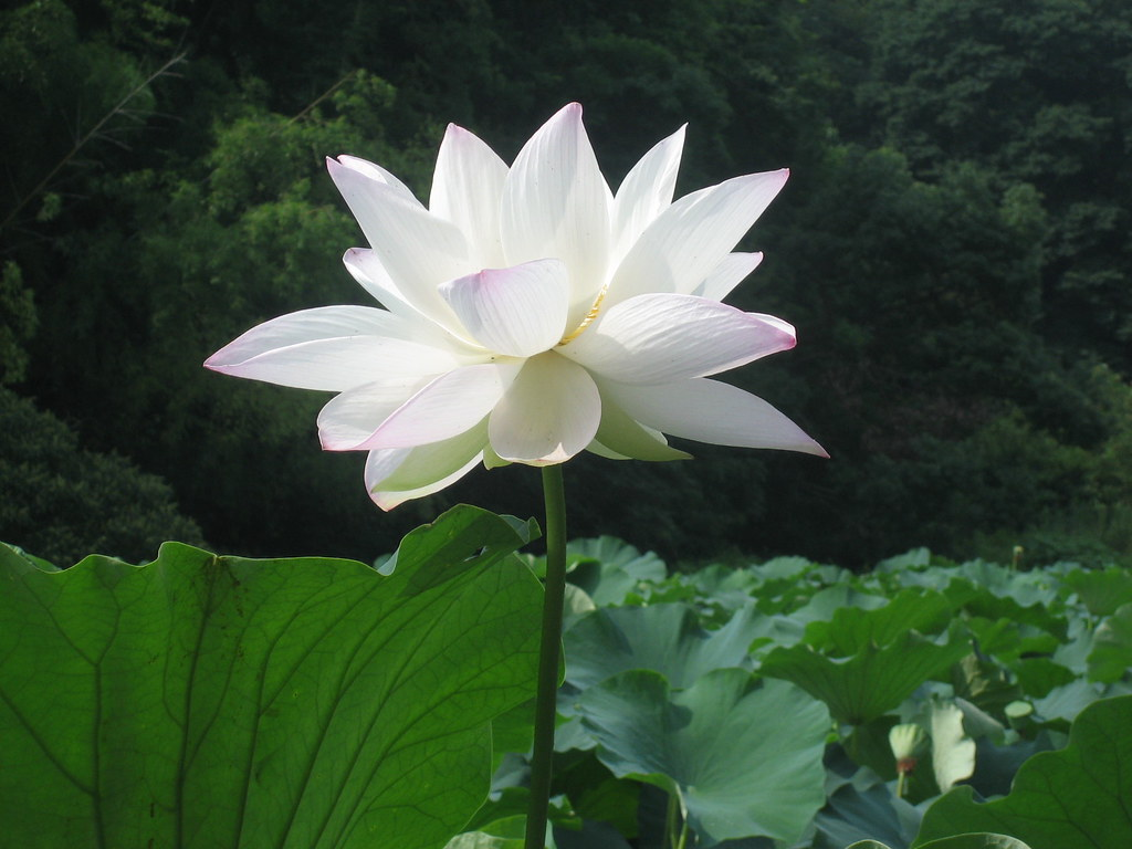 Lotus Beautiful Flowers Of Lotus Grow Out Of Mud Just As B Flickr