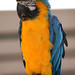 """Budweiser"" the blue & gold macaw"