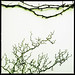 Flying Dragon (Poncirus trifoliata)