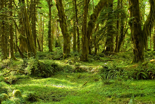 Olympic National Park - Maple Glade Trail | by rachel_thecat