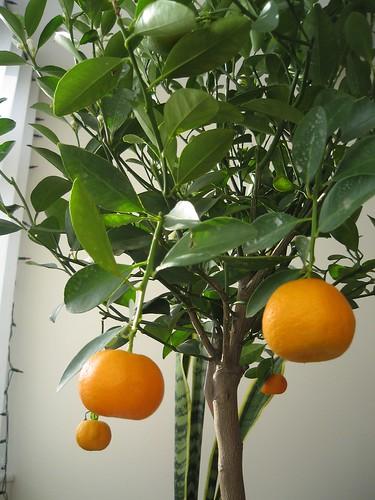 citrus mitis liz johnny wesley barker flickr. Black Bedroom Furniture Sets. Home Design Ideas