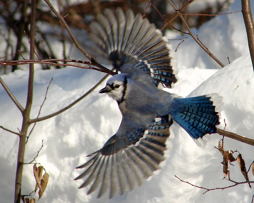 Blue Jay In Flight At The Beaver Lake Nature Center