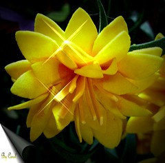 A Big Yellow Flower | by Tumbleweed Photography~Carol~