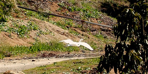 Egret_in_flight.JPG | by laderafrutal