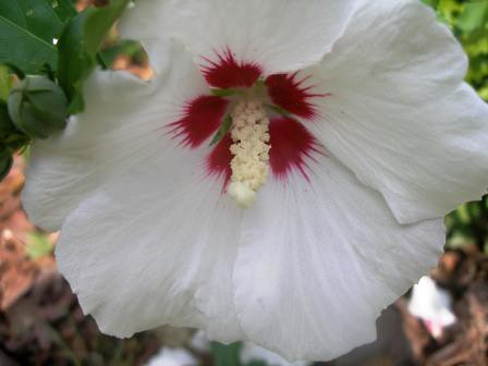 rose of sharon | by cookiemom18