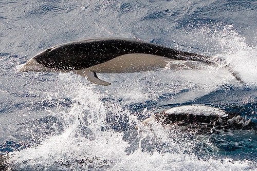 Southern Right Whale Dolphin | by Dave Walsh Photography