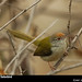 Common Tailorbird