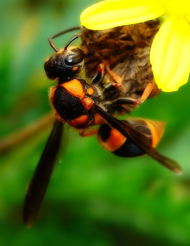 Common Wasp-mimic Bee | by aussiegall