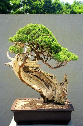 Upright literati juniper bonsai washington dc this for Literati bonsai gallery