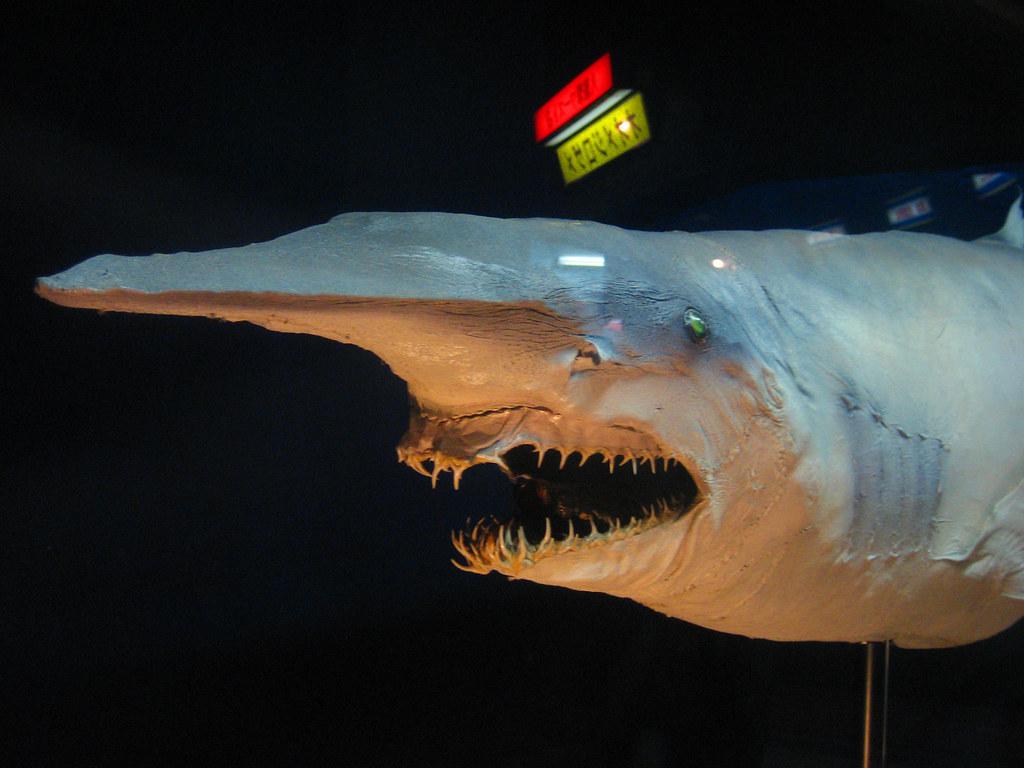 Goblin Shark Toys : Goblin shark aburatsubo marine park hungarian snow