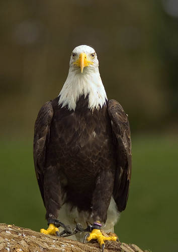 Bald Eagle | by Alex Hedger