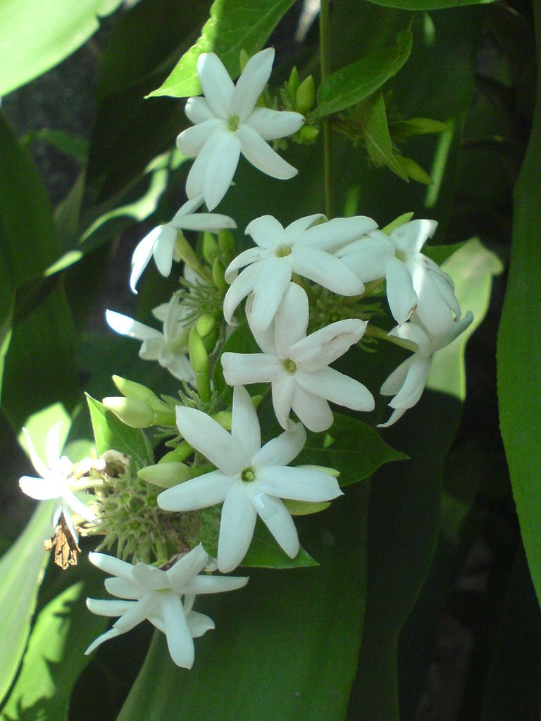 Jasmine | Common name: Indian Jui, Juhi  (Hindi