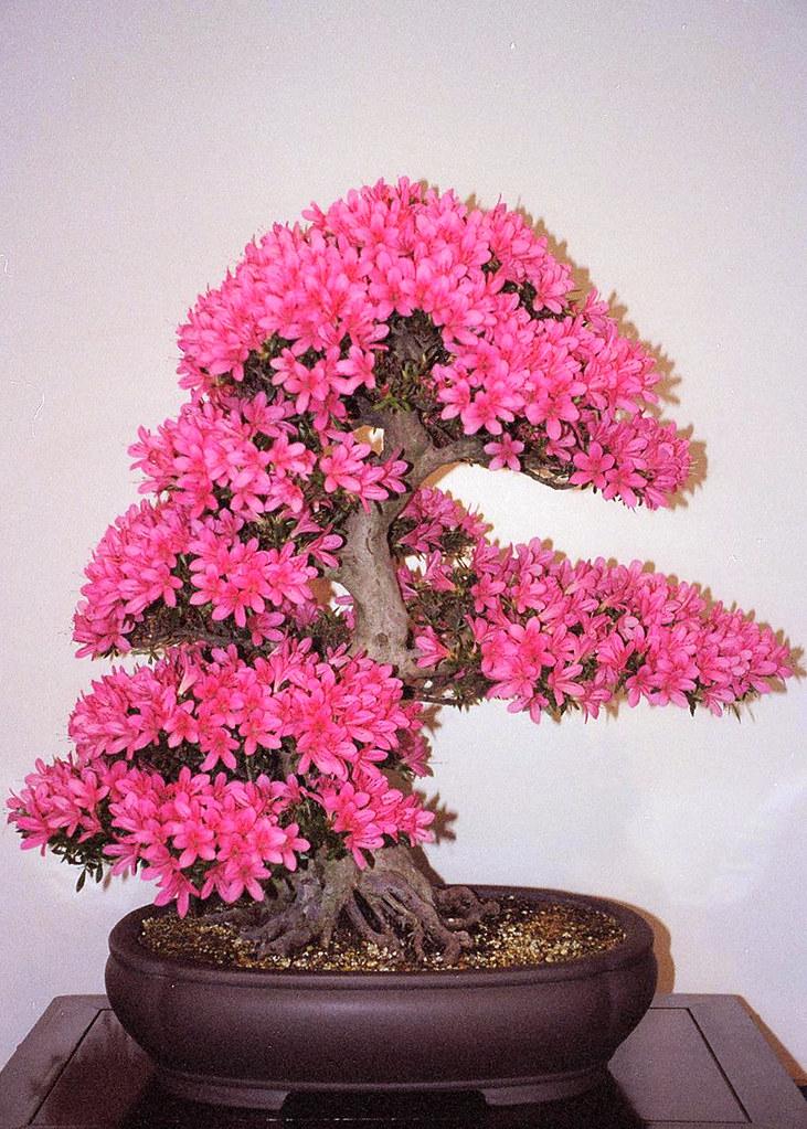 Bonsai azalea washington dc a very old satsuki azalea - Rododendro arbol ...