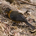 Snowy-Crowned Robin-Chat (Cossypha niveicapilla)