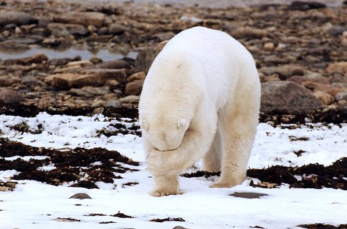 Polar Bear Wild & Shy | by undecided-one/ LEN HAIER