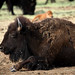 Resting Buffalo