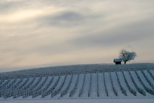 White vineyard | by TobTob