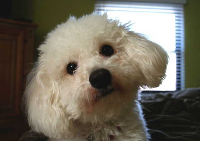 Curly Haired Dog Breed Crossword Clue