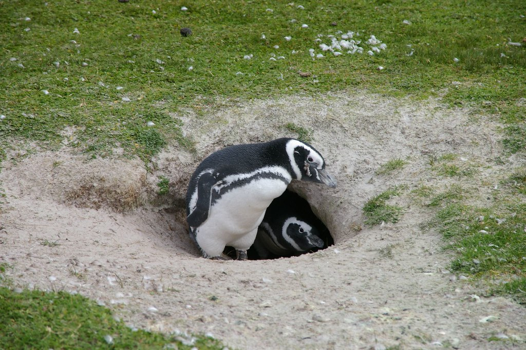 Magellanic Penguins   by Ben Tubby