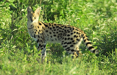 Serval | by La Lince