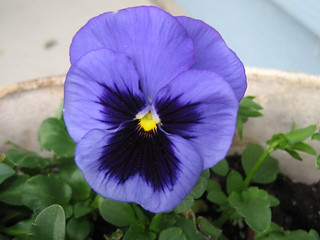Blue Pansy | by pelennor