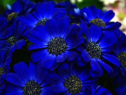 Blue flowers cineraria cineria flowers found in gaiser - Plants with blue flowers a splash of colors in the garden ...