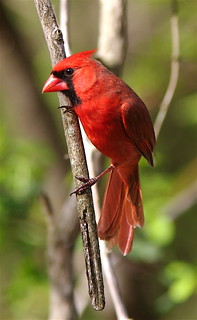 Northern cardinal | by Henry McLin