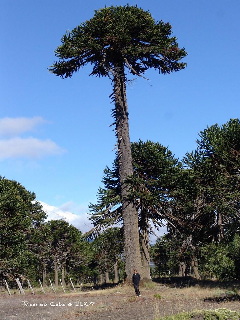 Araucaria Araucana En El 225 Rea Del Parque Lan 237 N Se