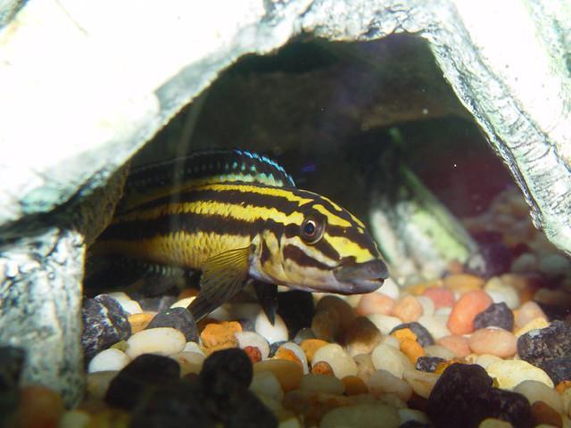 Julidochromis Regani | Fish from my aquarium of Lake ...