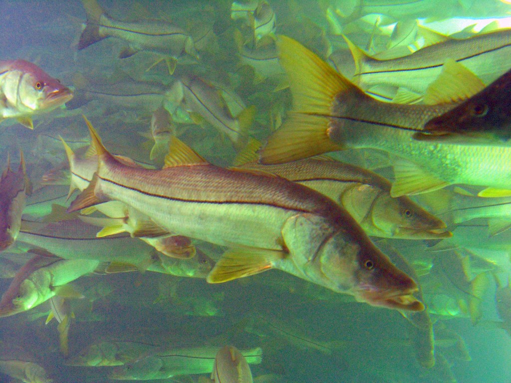 In the fish bowl of homosassa springs florida after for Whiting fish florida