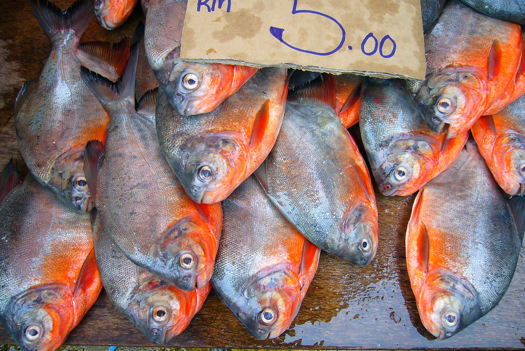 pacu red bellied pacus for sale in the kuching market