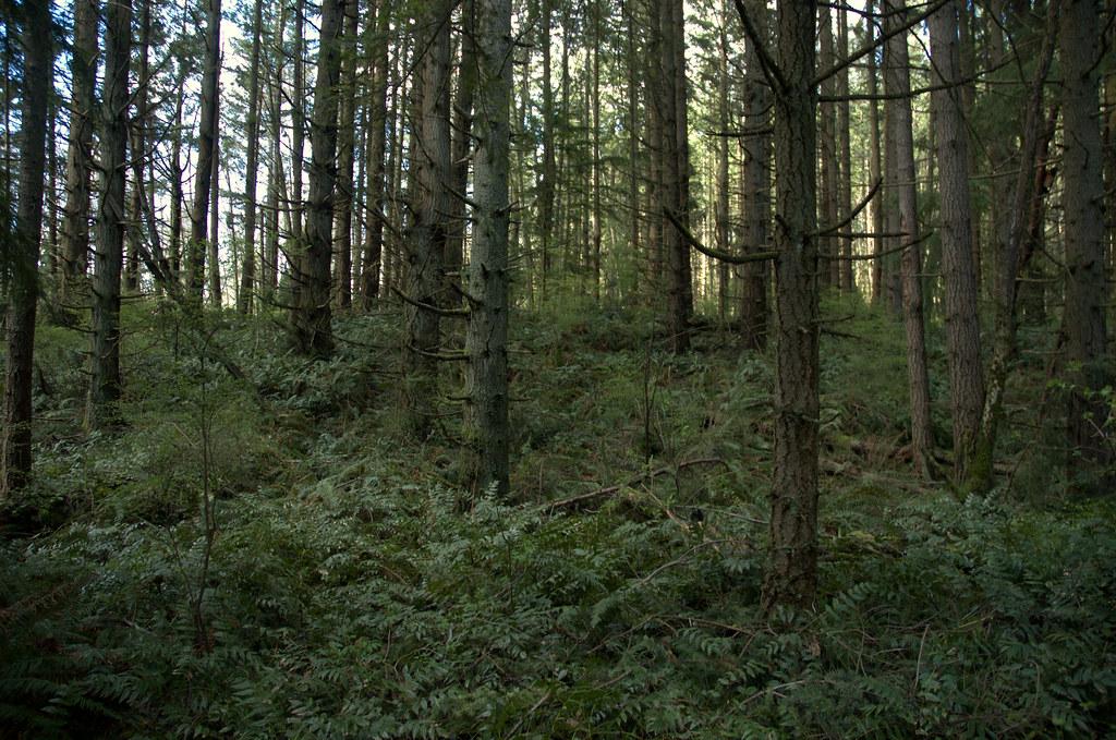 Doug Fir Forest   There is a pretty Douglas Fir forest ... Douglas Fir Forest