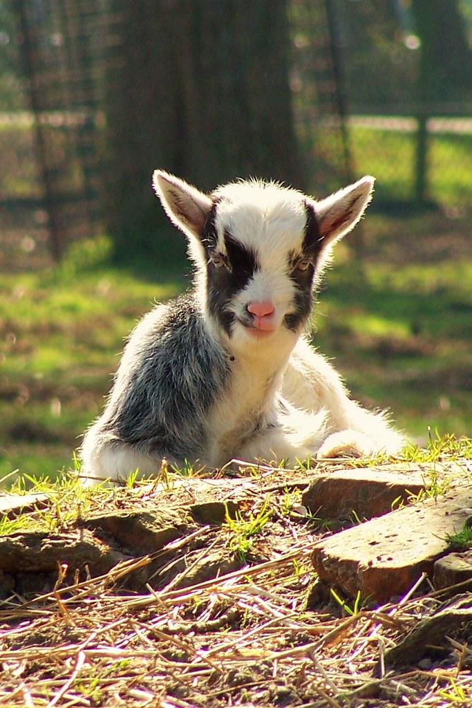 Afbeeldingsresultaat voor geitjes