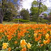 Orange Tulip horizons