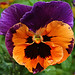 A Pansy with ATTITUDE