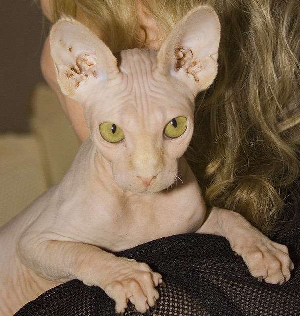 Pictures Of Cats With No Fur