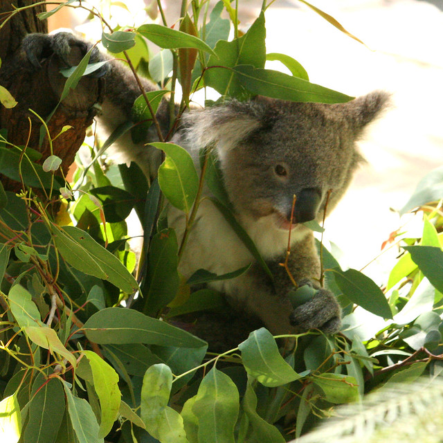 Diet Koala | Flickr - Photo Sharing!