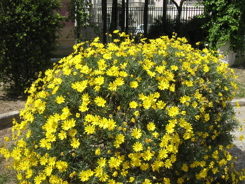 Bush Full With Yellow Flowers Arbusto Replecto De Flores Flickr