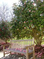 Pink Camellias Falling on Bench | by cmcgough