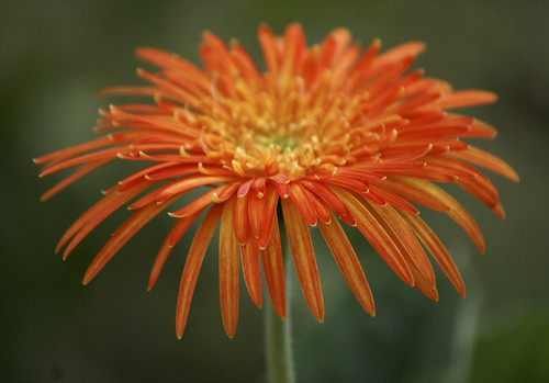 orange gerbera | by fuzzy vision