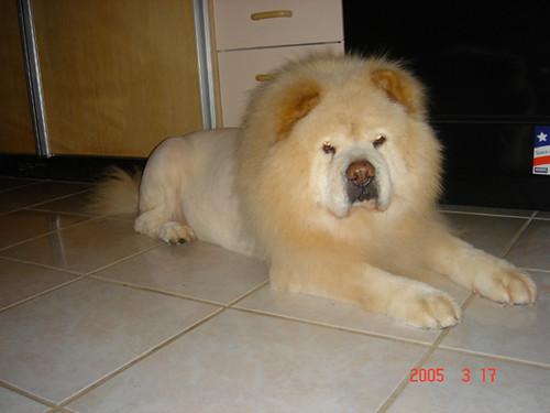 Chow Chow Lion Cut Lion cut