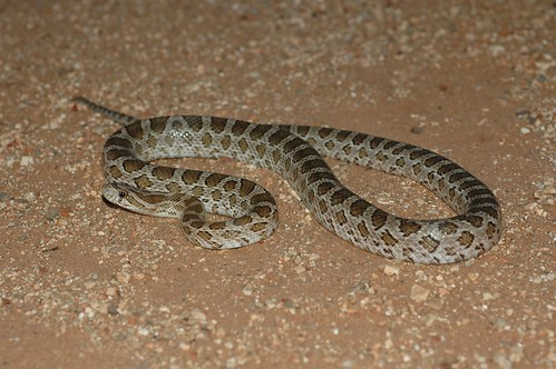 Great Plains Rat Snake | by The Horned Jack Lizard