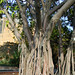 trunk of a Moreton Bay Fig Tree