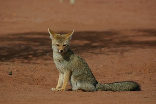 desert fox | by mockney_piers