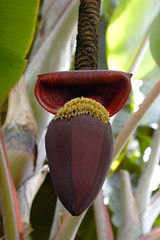 Banana flower | by Eric Hunt.