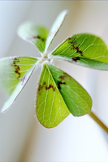 Four-leaf clover // Will this one bring me luck? | by Merlijn Hoek