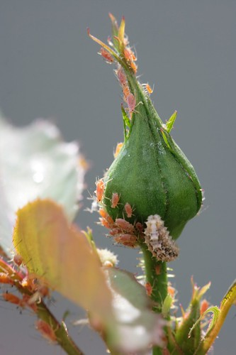 Rosebud Crawling with Aphids & Caterpillar | by Daniel Greene