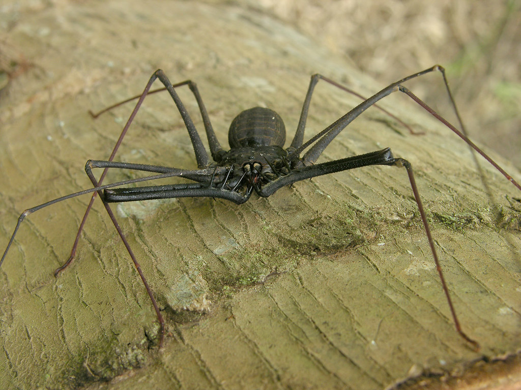 a new species of whip spider from The spider that moody took out of the jar was not technically a spider, but a whip spider, also called a tailless scorpion the whip spiders belong to the arachnid order amblypygi ('ambly' means 'blunt' and 'pygi' means 'rump'--referring to the absence of a tail).