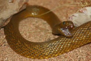 Inland Taipan, the World's Deadliest Snake | by kleinmatt66