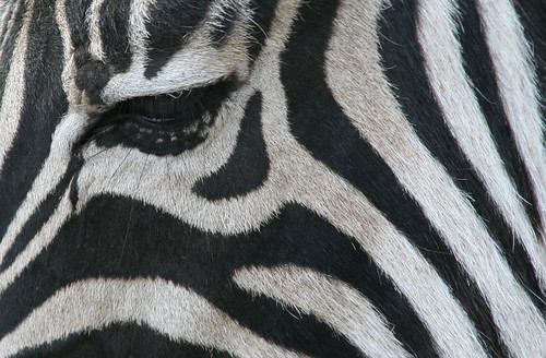 Zebra eye. | by P Villerius